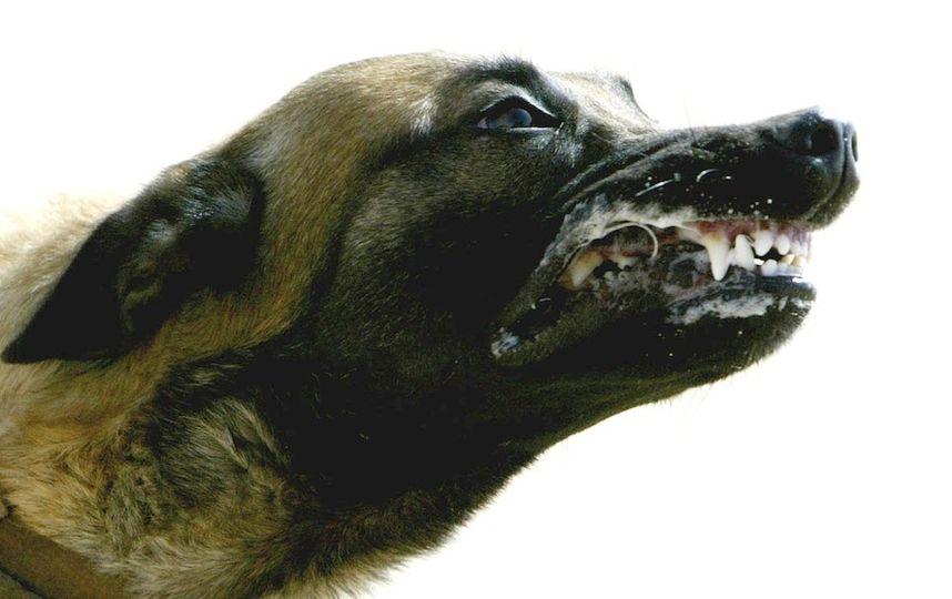Отлов бродячих собак приведёт к нашествию волков и лис на Москву. Фото Getty