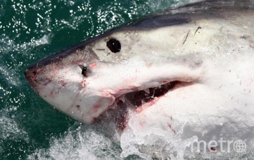 Белая акула. Фото Getty