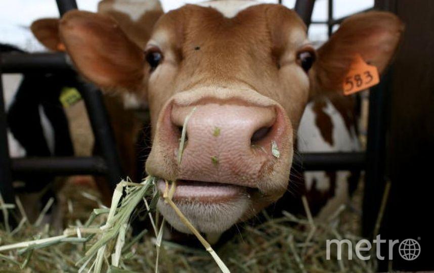 Корова. Фото Getty