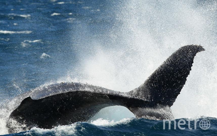 Горбатый кит. Фото Getty