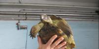 Из Петербурга в Анапу улетел самолёт с черепахами