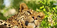 В Саратове леопард контактного зоопарка порвал шею шестилетней девочке