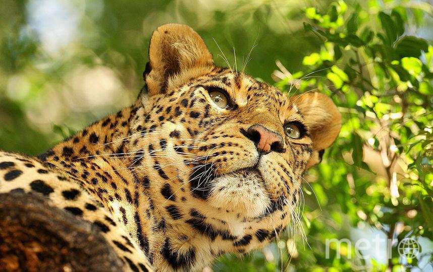 В Саратове леопард контактного зоопарка порвал шею шестилетней девочке. Фото Getty