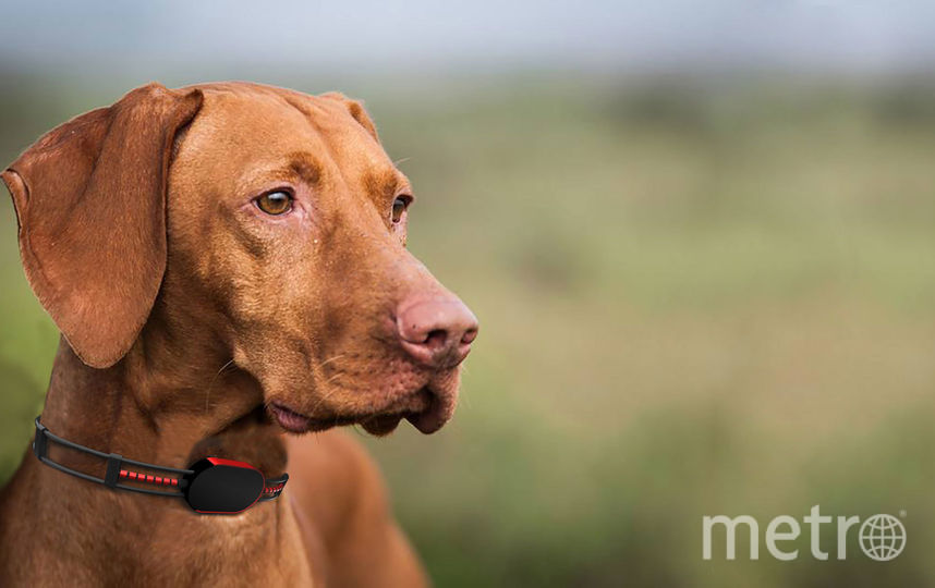 Собаке такой ошейник не мешает. Фото SensDog
