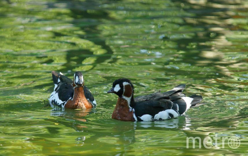 ВЛенинградском зоопарке открылся летний вольер счёрными лебедями