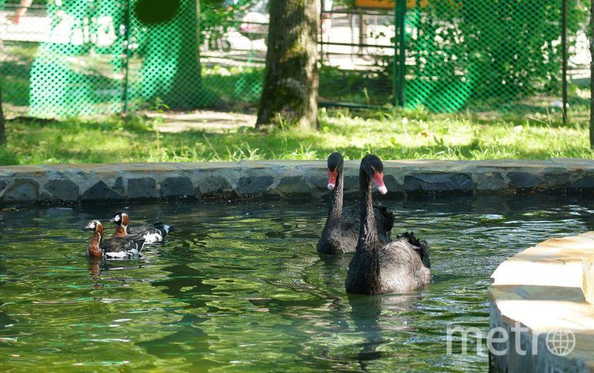Темных лебедей Ленинградского зоопарка перевели вновый вольер