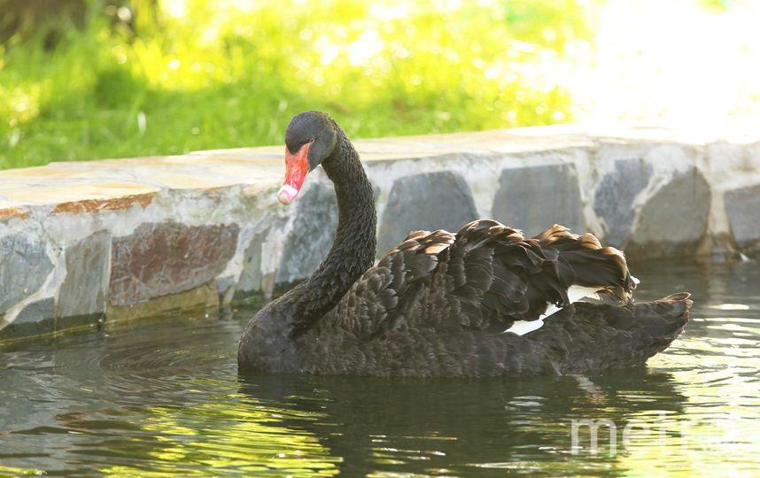 Черные лебеди вЛенинградском зоопарке справили новоселье