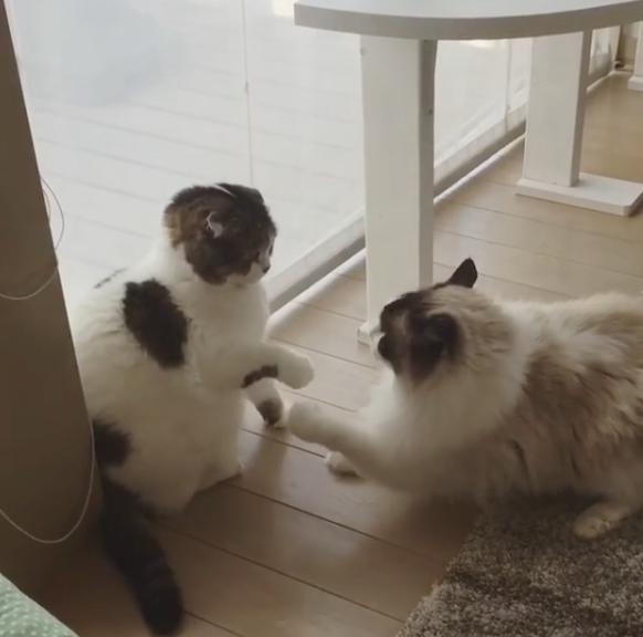 Схватка ленивых котов. Фото скриншот с блога donguri1001 в Instagram