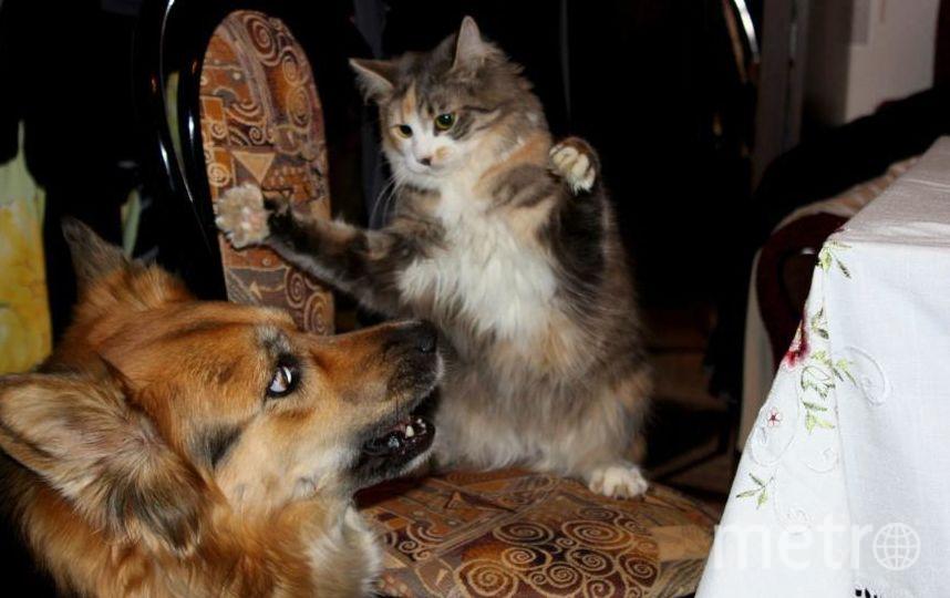 Это кошка Дашка. Умеет постоять за себя. Не боится даже тех, кто больше и сильнее, чем она. Фото Захаров Артём