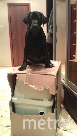 Меня зовут Орион. Я породистый лабрадор, моя хозяйка говорит, что я самый лучший пёс на свете и я ей верю! Сейчас мне уже почти 3 года и я умный воспитанный полноценный член общества. А на фото я совсем ещё щенок. Фото Вера Колосовская