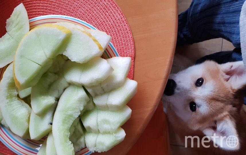 Наша собачка Акита-Ину по кличке Чиба очень любит грызть фрукты и овощи. Особенно дыню. Это пойманный взгляд после обгрызания нашей дыни, пока мы были заняты своими домашними делами. Фото Виталий и Ксения