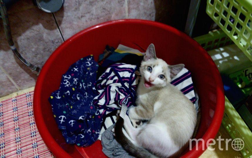 Кот Элвис появился у нас совсем недавно.Брали его тихим,пугливым котёнком,а через несколько недель он уже превратился в шкодливого мальчугана.Хватает за ноги,взбирается на оконные решётки,моет посуду и будит спозаранку. Фото Нина