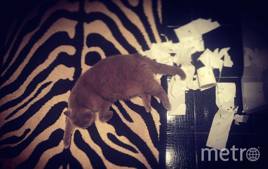 """Это мой любимый шкодник - скоттиш страйт по имени Зевс, 2 годика. Мой кот - это самый ласковый антистресс и самая тёплая грелочка :) мы очень любим играть и спать рядом, в нашем доме: животное - полноценный член семьи! Зевс -большой любитель массажа за ушком, вкусно покушать,а также нашкодничать пока никто не видит😺 но вот следы преступления не заметает, на фото - попытка хищения туалетной бумаги, которая, судя по всему,в какой-то момент вымотала Зевса и он решил прилечь, """"не отходя от кассы""""."""