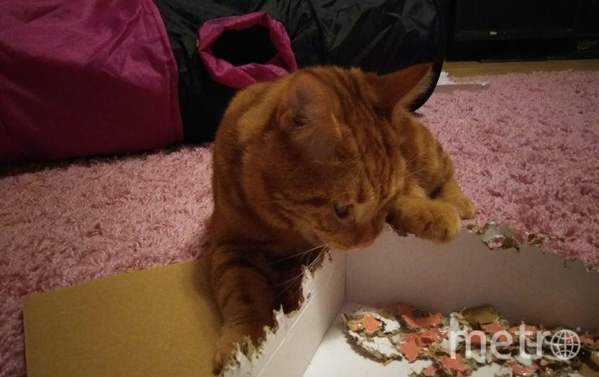 Меня зовут Людмила, а моего котика Тайгер, он обожает все грызть, из коробок он делает пазл)))а ещё любит кусаться. Фото Людмила