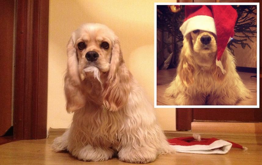 """На фото наша собака Пати (Патриция) на месте """"прсетупления"""". Пока все наряжали дом и ёлку к новому году, Пати украла шапочку деда мороза и """"расправилась"""" с помпоном. Фото Алина"""