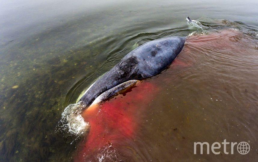 Детёныш гренландского кита, который заблудился в Хабаровском крае. Фото Сергей Доля