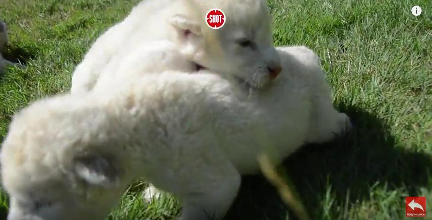 Вкрымском сафари-парке родились львята-альбиносы