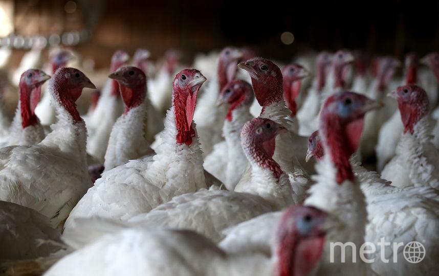 Страх убил три тысячи индюшек под Тамбовом. Фото Getty