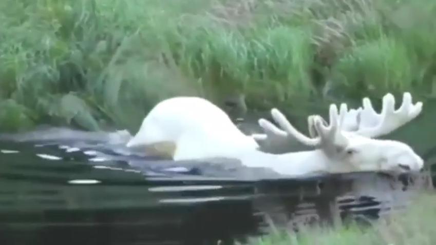 Белый лось вновь попал на видео в Швеции.
