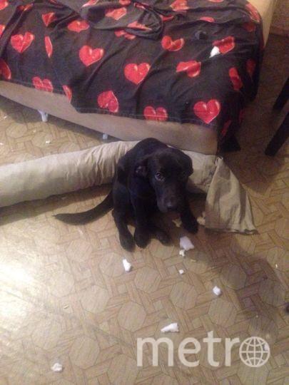 Это Лабрадор Гера. На фото ей 4 месяца. Это событие произошло, когда мы купили ей новый диван. Ей он, по видимому, не понравился. Фото Маркова Евгения
