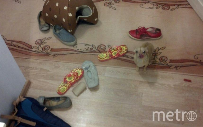 Нашего чиха зовут Белка(Изабелла). Когда дома никого нет она скучает и, начинает играть с обувью, и перетаскивает свой домик из комнаты в комнату. А иногда она начинает бегать восьмеркой, пока у нее не закружится голова. Мы очень любим нашу маленькую юлу. Фролова Саша, 13 лет.
