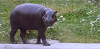 В Московском зоопарке поселился карликовый бегемот