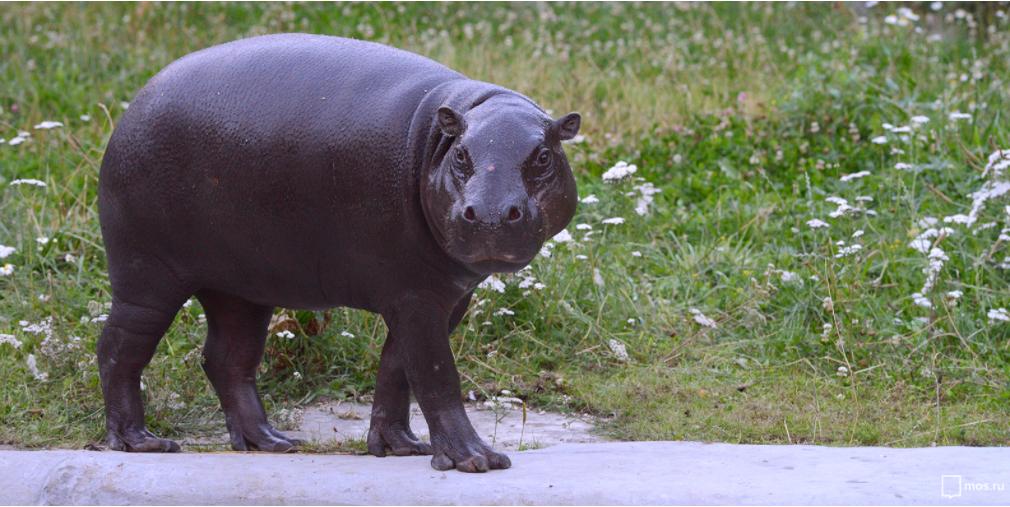 В Московском зоопарке появился бегемот. Фото mos.ru