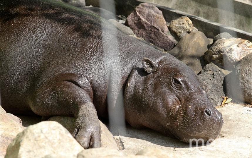 Карликовый бегемот в столичном зоопарке. Фото Василий Кузьмичёнок
