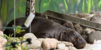 Карликовому бегемоту из столичного зоопарка будут искать пару