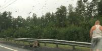 Лося сбило насмерть авто на Мурманском шоссе у КАД