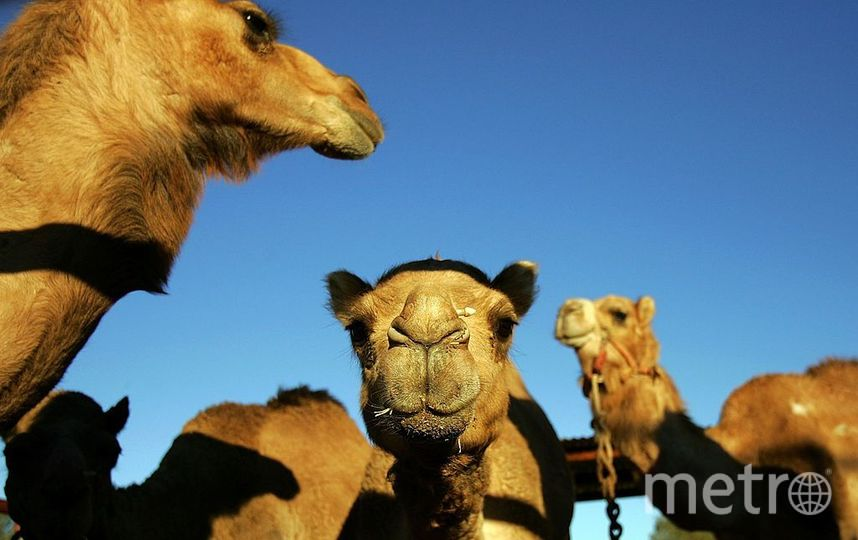 Верблюды. Фото Getty