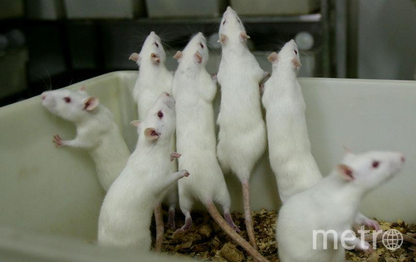 Крысы. Фото Getty