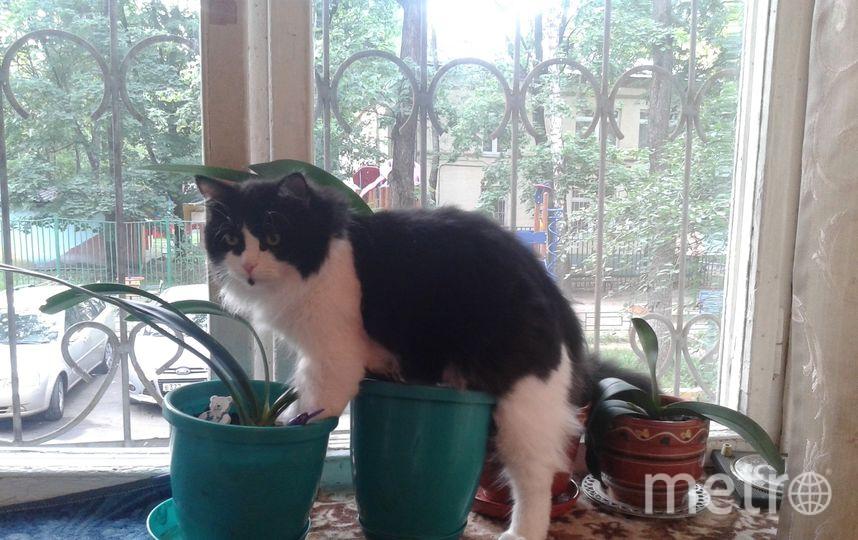 Любимое занятие нашего Лакки, это садоводство. Кот искренни считает, что все цветы в горшке растут именно для него. Поэтому не упустит возможность покопаться в орхидеи или съесть кактус. Фото Светлана