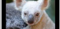 Видео редкой белой коалы умиляет пользователей Сети