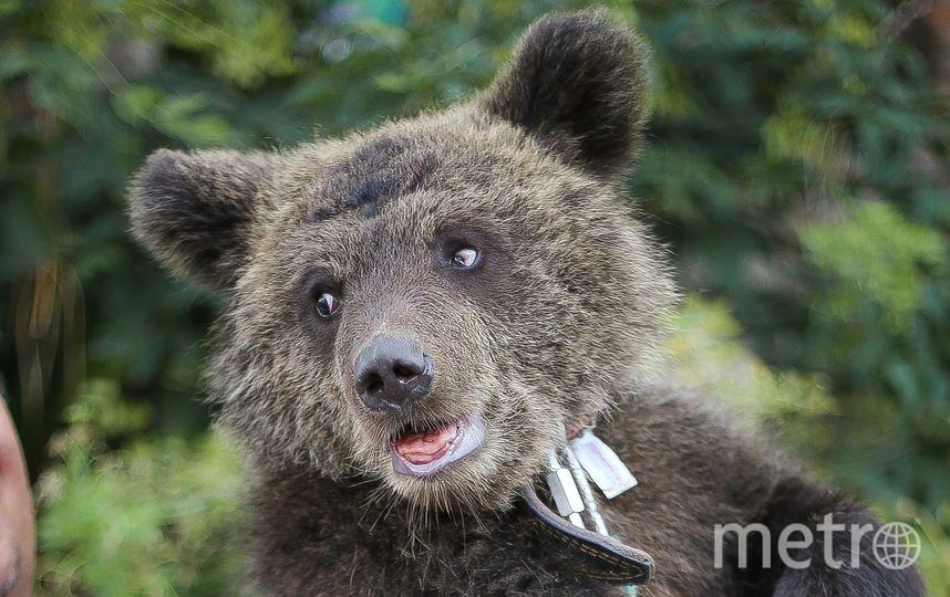 Медвежонка выкупили у бродячего цирка. Фото Фото предоставлено центром «Велес»