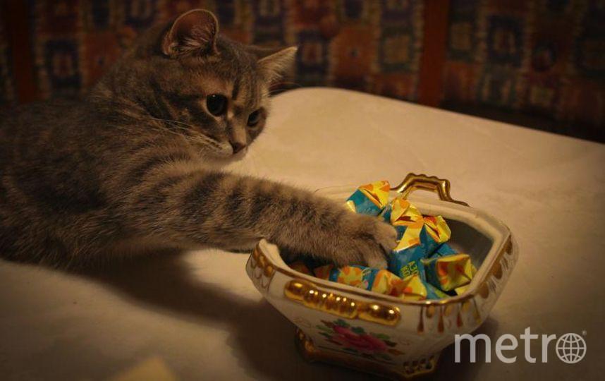 """Знакомьтесь, это наша кошечка. Зовут её Бася, а если полностью - Бастилия. Бася очень большая """"сладкоежка"""". Стоит поставить на стол конфеты, как любительница сладкого тут как тут. Фото Ирина"""