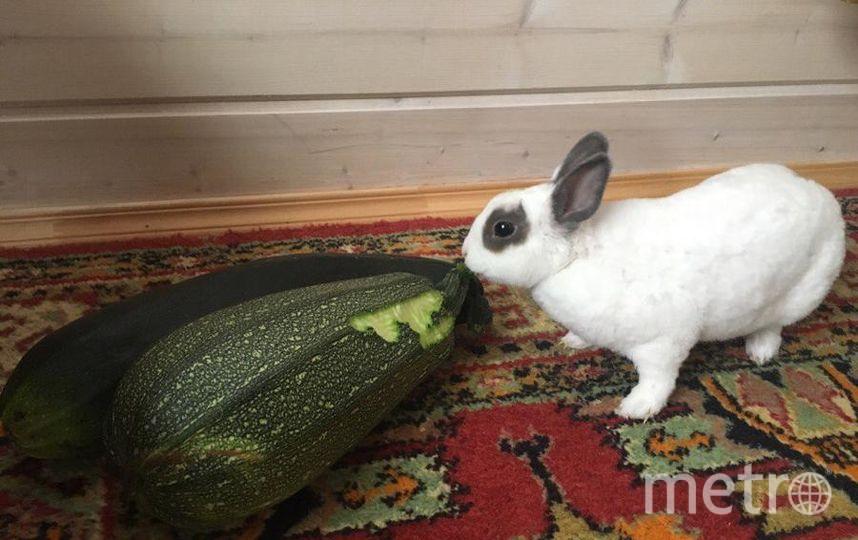На днях собрали кабачки с грядки. Филя подумал, что это - угощение для него. Также наш кролик очень любит морковку, яблоки и одуванчики. Фото Юля