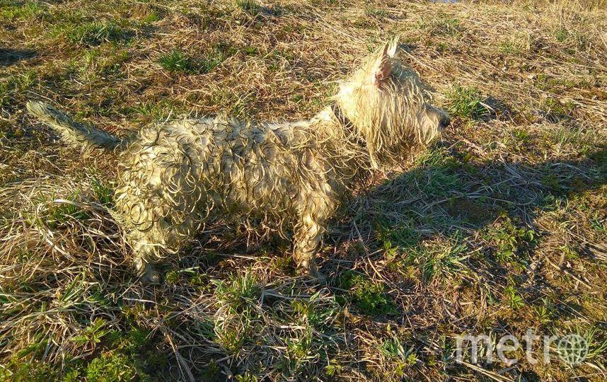 Это наша воспитанница Тери, порода West Highland White Terrier. Она любит купаться и не оставляет без внимания ни один водоем, который видит. На фото она в образе лягушки сразу после купания в заболоченной части реки Утка. Фото Аня и Артем