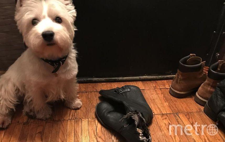 Это вест хайленд уйат терьер Филя, самый умный и замечетельный пес на свете! Фото Нина