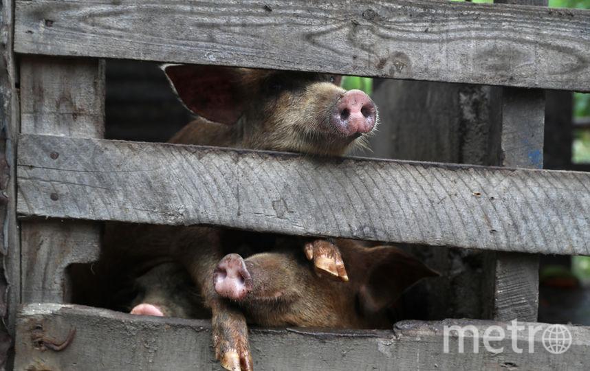 Свиньи. Фото Getty