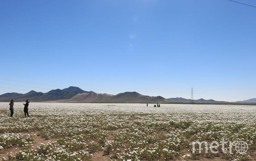 Цветущая пустыня. Фото Pilar Gil.