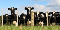 Компания Danone перевезёт пять тысяч коров из Европы в Сибирь