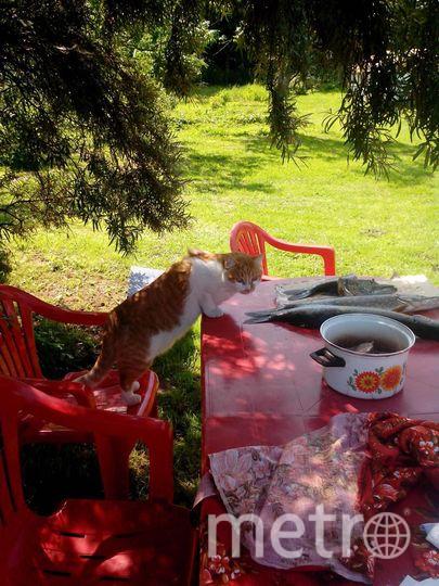 """""""ХУЛИГАН"""" Это наш кот Тимофей. Каждый раз после рыбалки на Ладожском озере, он всегда находит момент чтобы украсть рыбину со стола. Фото Ваш постоянный читатель Николай Быков."""
