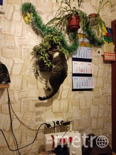 меня зовут Наташа. На фотографии мой любопытный хулиган, которого зовут Кузя. Здесь ему пол года. Все цветы на подоконнике он уже изучил, теперь принялся обследовать стены.