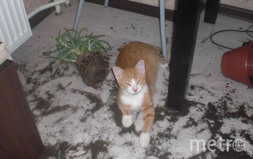"""Это наш кот Рыжик. Мы подобрали его котенком на улице. Почему-то с первого дня он стал вести """"борьбу на выживание"""" с нашим алоэ, постоянно обкусывая кончики листьев и сбрасывая горшок с подоконника. Вот такую картину я застала однажды рано утром на кухне. Ругаться я не смогла, увидев эту довольную мордаху. И вообще наш Рыжик - самый нежный и трогательный кот на свете, поэтому ему многое прощается. Фото Оксана Черникова, Спб."""