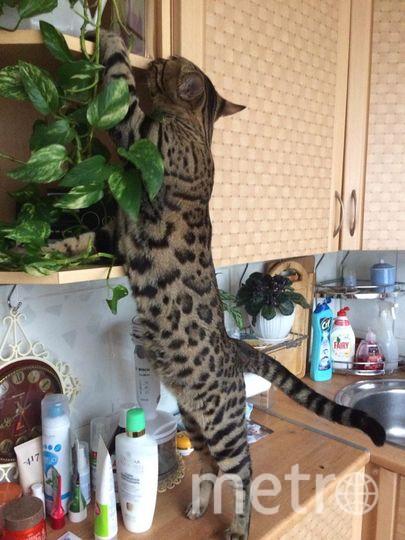 Это мой котенок Йосефталь-Хатуль. На втором месте после любознательности у него стоит привычка воровать мои резинки для волос. И высота тому не помеха, найдет абсолютно везде. Пойман на месте преступления и пока не наказан. Фото Перегудина Элина.