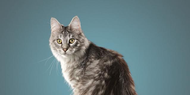 Кот Сигнус.