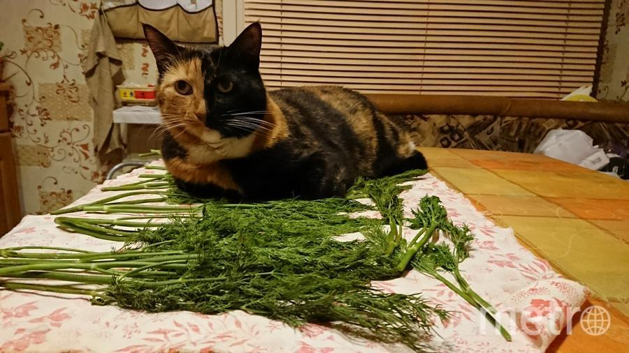 Это наша кошка Дуня. Своенравная, но любимая. Любит участвовать во всех домашних делах. Вот и сейчас решила нам посушить зелень. Фото Павел Метлицкий