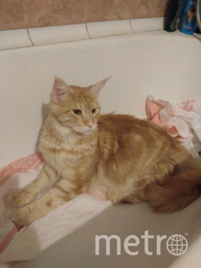 Наш котик Симба настоящий проказник: ему 1,5 года и все это время что-нибудь да чудит. Вот и сейчас решил, что белье постирали для него. Румия.