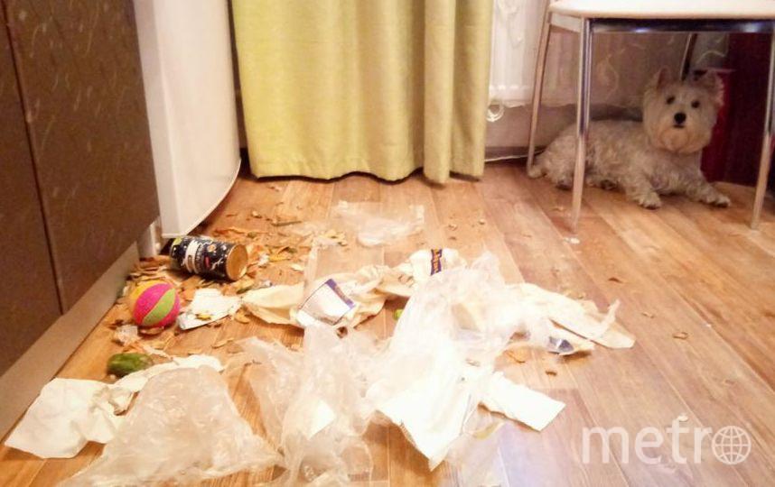 Меня зовут Анна! У нас есть любимая, игривая собачка, которую зовут Тери. У нас произошла такая история. Вроде Терички уже 1,5 года и не ждешь подвоха, произошел такой случай. Однажды, уходя на работу забыла захватить собой и выбросить мусор, и вечером ждал меня сюрприз ...